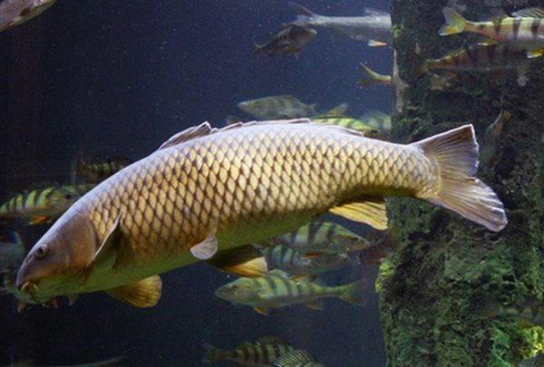 Mơ thấy cá chép có điềm báo gì?