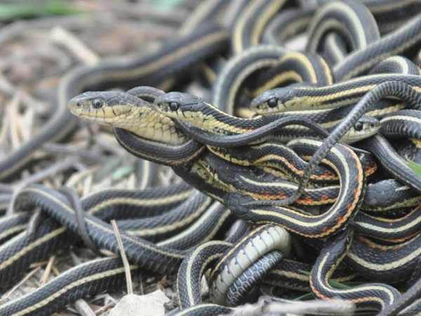 Giải mã giấc mơ thấy nhiều rắn