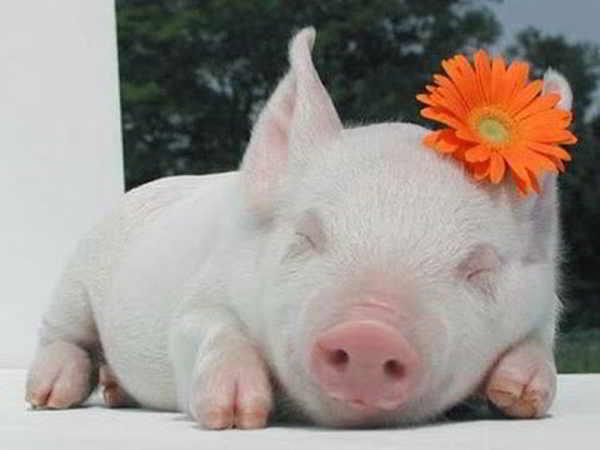 Nằm mơ thấy lợn có điềm báo gì?