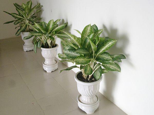 8 loại cây phong thủy giúp gia chủ hút tài lộc nên trồng trong nhà