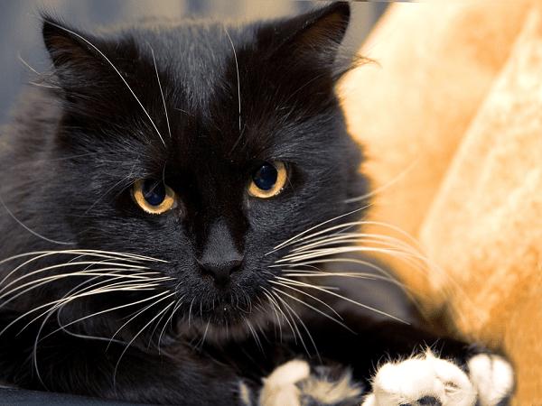 Mơ thấy mèo đen là điềm báo gì - Đánh con số nào?