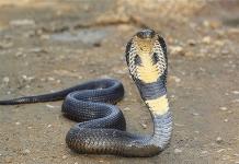 Mơ thấy rắn hổ mang là điềm báo gì - Đánh con số nào?