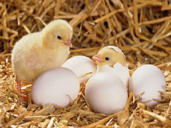 Mơ thấy trứng gà là điềm báo gì - Đánh con số nào?