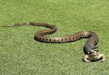 Mơ thấy rắn đuổi là điềm báo gì - Đánh con số nào?